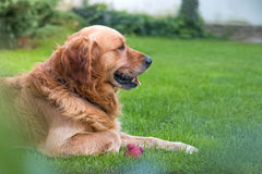 Golden retrieversidosikt Royaltyfria Bilder