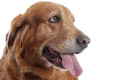 Golden retrieverstående - härligt husdjur Arkivbild