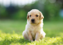 Golden retrievervalp Arkivfoto