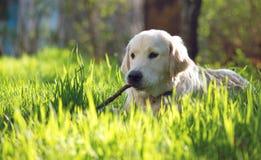 Golden retrievervalp som spelar med en pinne i gräset Fotografering för Bildbyråer