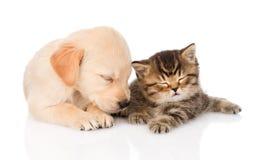 Golden retrievervalphund och brittisk katt som tillsammans sover isolerat royaltyfria foton