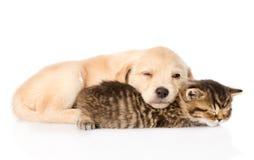 Golden retrievervalphund och brittisk katt som tillsammans sover isolerat Arkivfoton