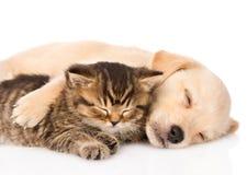 Golden retrievervalphund och brittisk katt som tillsammans sover isolerat Royaltyfria Bilder