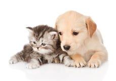 Golden retrievervalphund och brittisk strimmig kattkatt som tillsammans ligger isolerat arkivbilder