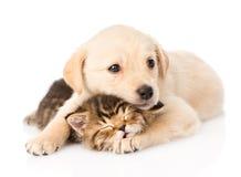 Golden retrievervalphund som kramar sova den brittiska katten isolerat royaltyfri bild