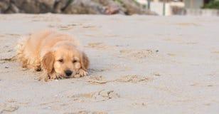 Golden retrievervalplek på stranden Royaltyfri Bild