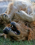 Golden Retriver. Golden Retriever pup happily playing Stock Images