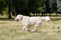 Golden retriver Stock Image