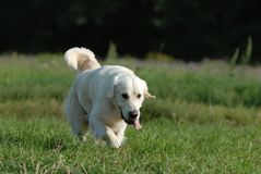 Golden retriver Stock Photography