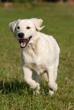 Golden retriver. Young dog - golden Retriver runing by the grass Royalty Free Stock Images