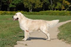 Golden retriver Royalty Free Stock Photo