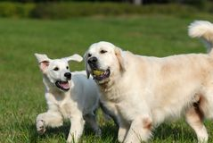 Golden retriver Stock Photos