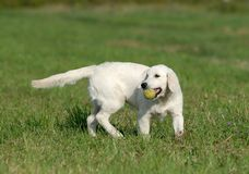 Golden retriver. Young dog - golden Retriver runing by the grass Royalty Free Stock Photography