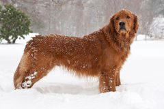 Golden Retriver. Enjoying The Snowstorm Stock Photo