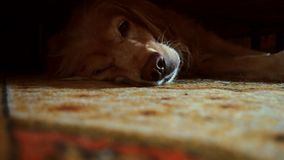 Golden retriver is awakening. The golden retriver is awakening stock video footage