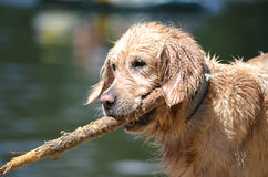 Golden retriver on the beach Royalty Free Stock Photos