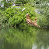 Golden Retriver diving into a stream Stock Photography