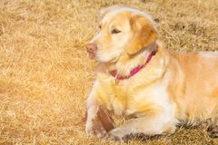 Golden retriver dog over dry glass Royalty Free Stock Photography