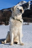 Golden retriver on a frozen lake Royalty Free Stock Photography