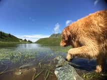 Golden retriver Stock Images