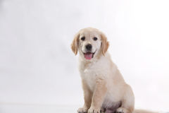Free Golden Retriver Puppy Royalty Free Stock Photography - 91807057