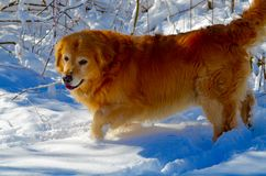 Golden Retriver in the snow Royalty Free Stock Images