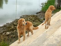 Golden retriver Royalty Free Stock Image