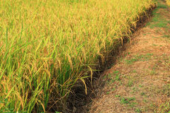 Golden rice Stock Photos