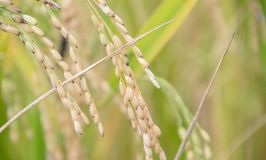Golden rice farm Royalty Free Stock Image