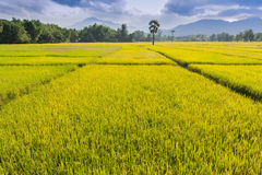 Golden rice farm of thailand Stock Image