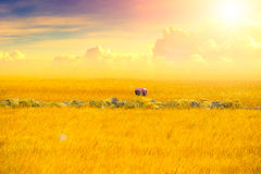 Golden rice field with beautiful sun shine sky. Golden rice field with beautiful sun shine sky in Thailand Stock Photos