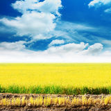 Golden rice field with blue sky. Royalty Free Stock Photography