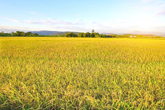 Golden rice field with blue sky Stock Photos