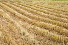 Golden rice field Royalty Free Stock Photo