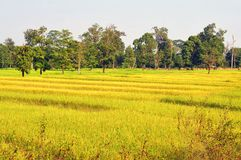 Golden rice field glittering look like a ripple wave to shore. Stock Image