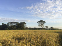 Golden rice field Stock Images