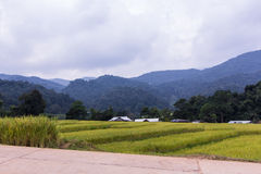 Golden rice field in Mae Klang Luang village, Chomthong Chiangmai Royalty Free Stock Images