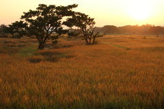 Golden rice field on morning. In thailand Stock Photo