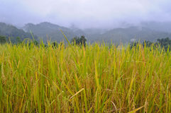 Golden rice field on the mountain Royalty Free Stock Image