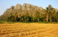 Golden rice field and mountain, Thailand. Stock Image