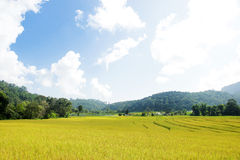 Golden rice field in mountain valley Stock Photography