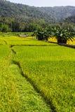 Golden Rice field near Mountain in Chiangmai Thailand Stock Photos