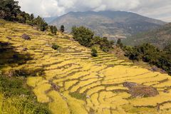 Golden rice field in Nepal Stock Image