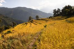 Golden rice field in Nepal Royalty Free Stock Images