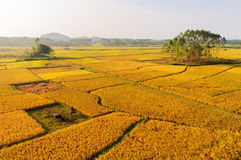 Golden rice field Royalty Free Stock Images