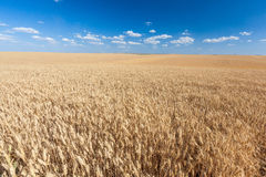 Golden rice field ready for harvest with blue sky Stock Images