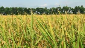 Golden rice field stock footage