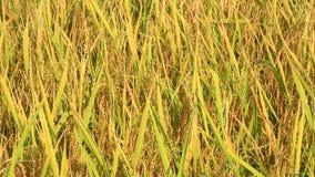 Golden rice field stock video footage
