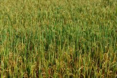 Golden rice field in Sri Lanka. Green wallpaper stock photo