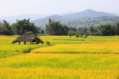 Golden rice field surrounded by the mountain royalty free stock images